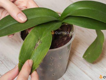 Boli si daunatori la orhidee
