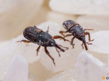 Cum sa combati gargarita graului (Sitophilus granarius)